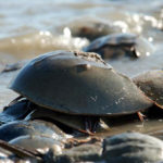 Mid-Coast Audubon Hosts Horseshoe Crabs Presentation