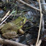 Coastal Rivers Offers Online Program on Finding Frogs