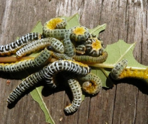 Dogwood sawfly larvae, from a red osier dogwood. The larve are valuable as food for baby birds. (Photo courtesy Nancy Holmes)