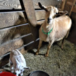 Copper Tail Farm Welcomes 11 Kids