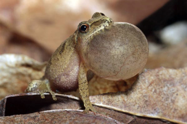 The inflated vocal sac of male peeper. (Photo courtesy Farmers' Almanac)