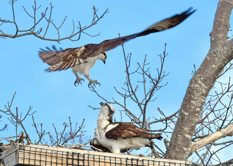 A new pair of mated ospreys land in the man-made nest on Salt Pond Road in New Harbor on April 18. (Photo courtesy Sherrie Tucker)