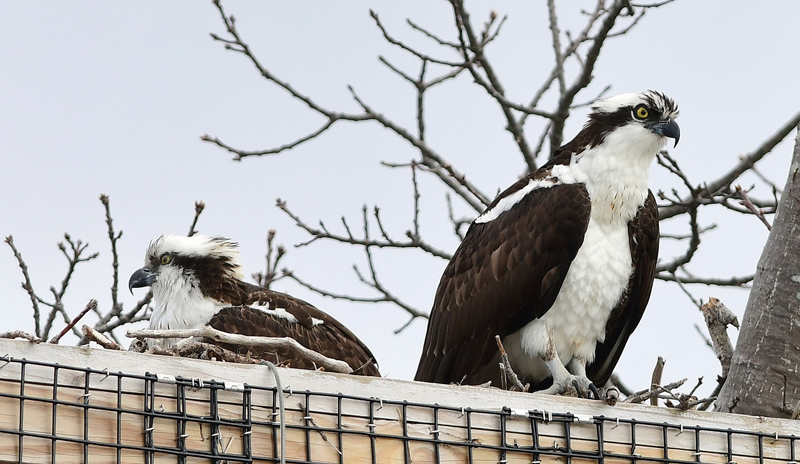 The pair of mated ospreys looks out in the man-made nest on Salt Pond Road in New Harbor. The nest, built by Shannon Mahan, has provided a home for mated ospreys for the past three years. (Photo courtesy Sherrie Tucker)