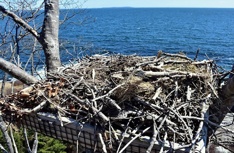 The osprey nest built by Shanon Mahan on the Salt Pond Road in New Harbor has served as the home for mated ospreys for the past three years. (Photo courtesy Sherrie Tucker)