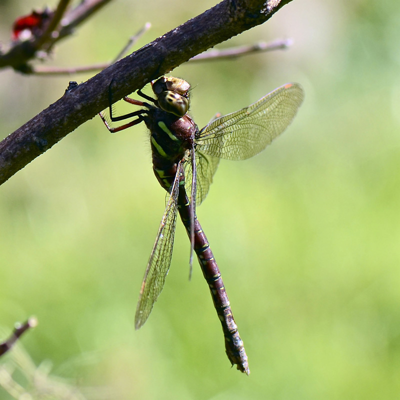 A dragonfly perches on a branch. (Photo courtesy Marc Ouellette)