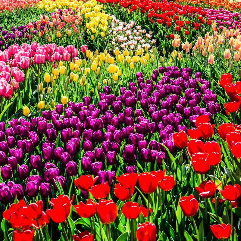 """""""Tulips"""" by Jim Nyce."""