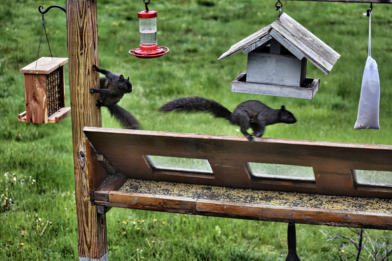Jan Griesenbrock's photo of a confrontation between two black squirrels at his bird feeder received the most reader votes to win the May #LCNme365 photo contest. Griesenbrock, of Waldoboro, will receive a $50 gift certificate to Metcalf's Submarine Sandwiches, of Damariscotta, the sponsor of the May contest; and a canvas print of his photo, courtesy of Mail It 4 U, of Newcastle.