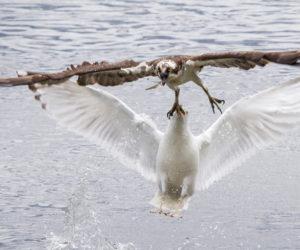 A gull attacks an osprey mid-air. (Photo courtesy Duane Lowe)