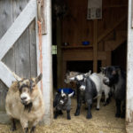 Tails & Tales From Apifera Farm
