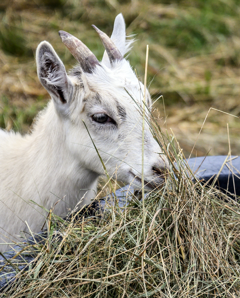 An Icelandic goat snacks on hay at the Beau Chemin Preservation Farm during Open Farm Day in Waldoboro on Sunday, July 25. (Bisi Cameron Yee photo)