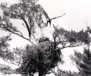 Eagles nest at the south end of Damariscotta Lake. Empty now, pleasant memories make us instinctively look up as we gy by. (Photo courtesy Ian Flye)