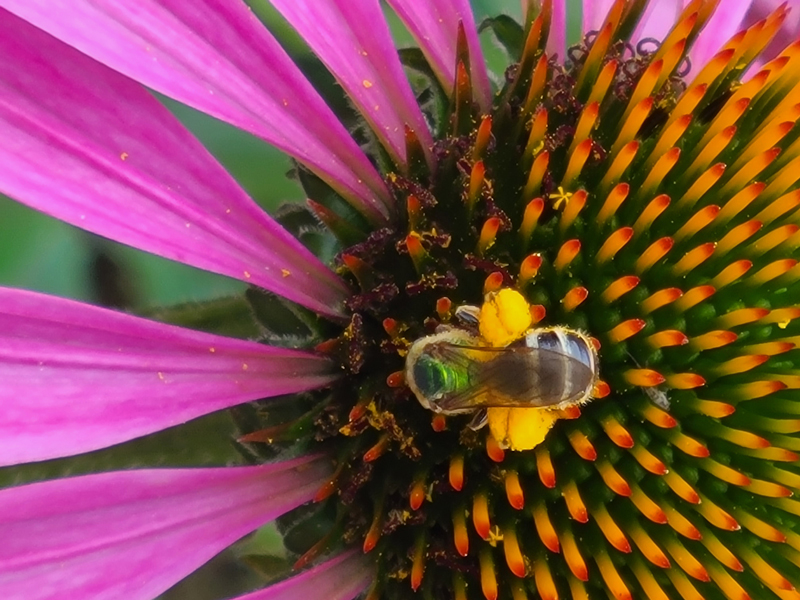 Jannine Oates' photo of a bee visiting a flower at her home in Waldoboro won the July #LCNme365 photo contest. Oates will receive a $50 gift certificate to Riverside Butcher Co., the sponsor of the July contest, and a canvas print of her photo courtesy of Mail It 4 U, of Newcastle.