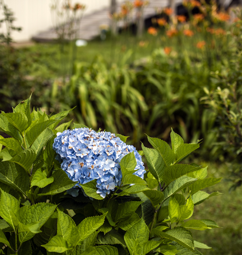 A blue hydrangea blooms in Ernestine Peaslee's front yard in Somervile on Friday, July 30. The large flower is Peaslee's favorite planting. (Bisi Cameron Yee photo)