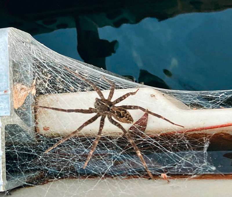 The female Dock spider spins a web to protect her nest. (Photo courtesy Mike Christensen)