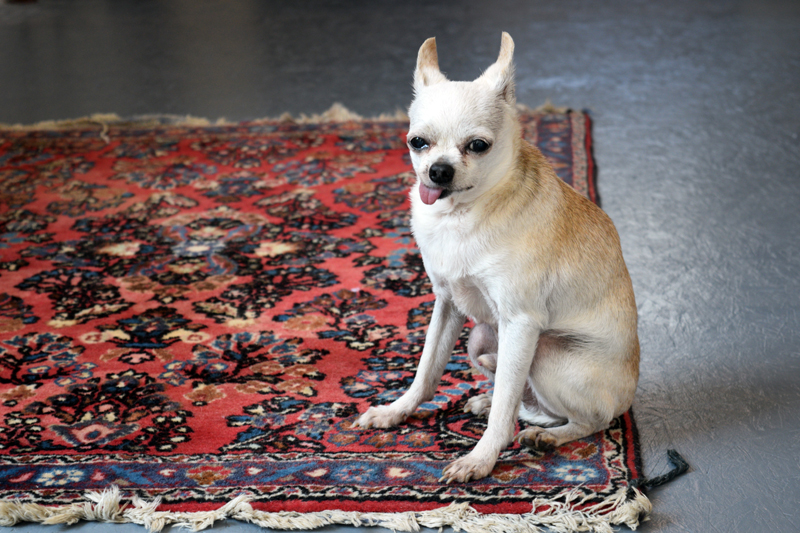 Ernesto, Emily Davey's 18-year-old Chihuahua, posing gracefully on a rug at Macadamia, Damariscotta's newest boutique, on Aug. 27. (Nate Poole photo)