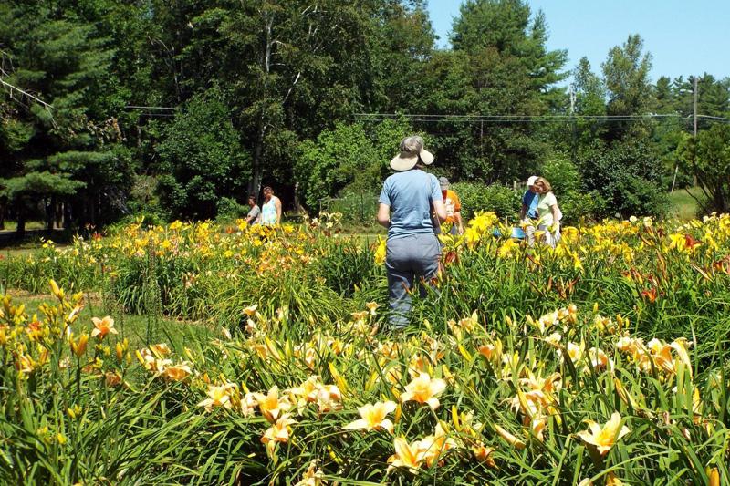 Customers at Tina's Daylilies exploring the gardens